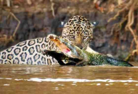 Jaguar da caza a un enorme cocodrilo en una tensa batalla subacuática