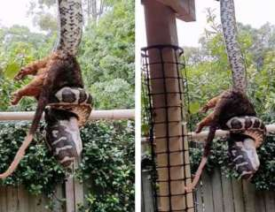 Otro día, otra pitón comiéndose boca abajo una zarigüeya en Australia (vídeo)