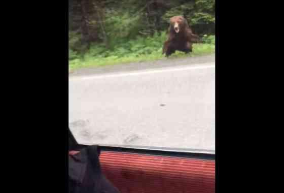 Asombroso vídeo muestra un gran oso cargando a un automóvil