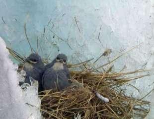 Pájaros de los glaciares