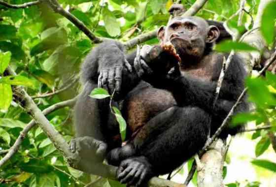¿Cómo comen tortugas los chimpancés? Aplastándolas como un coco