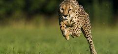 National Geographic filma al animal más rápido del mundo: El guepardo