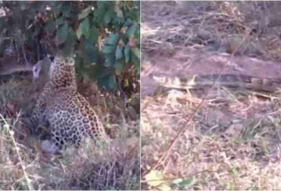 Mamá leopardo enseña a su cachorro el arte de la caza de una serpiente pitón