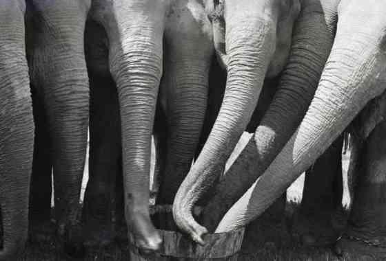 Mira la impresionante fuerza de succión de la trompa del elefante