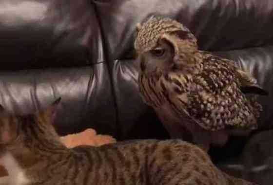 Si crees que los gatos son territoriales, nunca has visto a un búho defender su lugar en el sofá