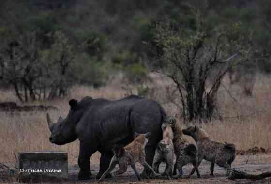 Hienas trabajan juntas para abatir a un rinoceronte