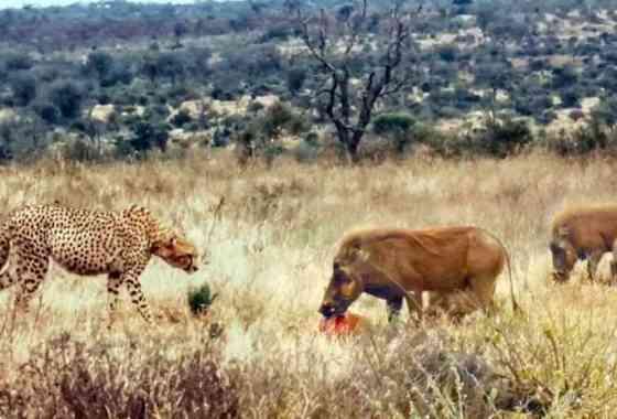 Carniceros facóqueros cargan para arrebatar la presa a un guepardo