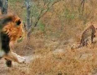 Leopardo escapa por poco del acecho de un león