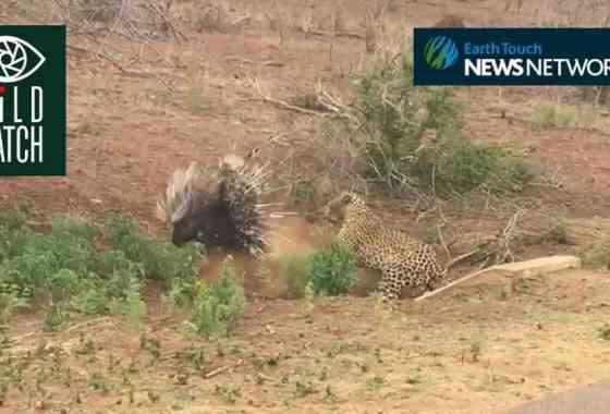 Situación espinosa: Puercoespín carga contra un leopardo en el Parque Kruger de Sudáfrica