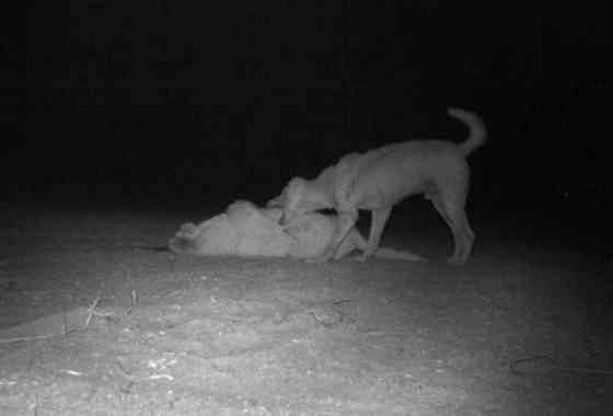 El canibalismo del dingo contribuye en Australia a un mundo de perro-come-perro
