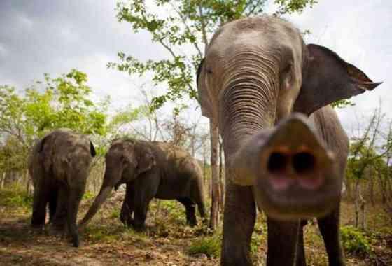 Los elefantes saben la cantidad usando solamente su sentido del olfato