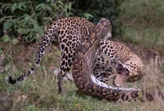 Intensa pelea de un leopardo y una pitón captada por la cámara