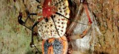 Arañas se comen sus propios genitales después de hacer el acto sexual