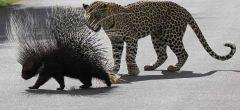 Cuando la presa se defiende - Puercoespín mata a un leopardo