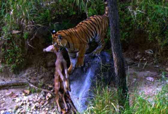 Tigre de Bengala caza un cervatillo