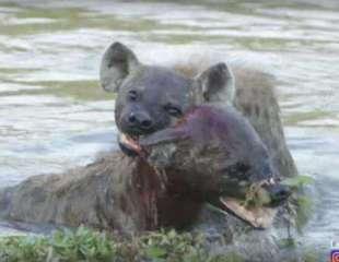 Hienas se lanzan al agua en una brutal batalla por el territorio
