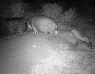 Cámara filma a atrevidas hienas molestando a un hipopótamo