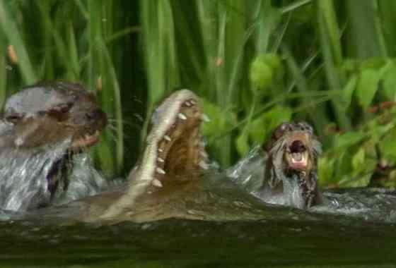 Familia de nutrias mata a un caimán