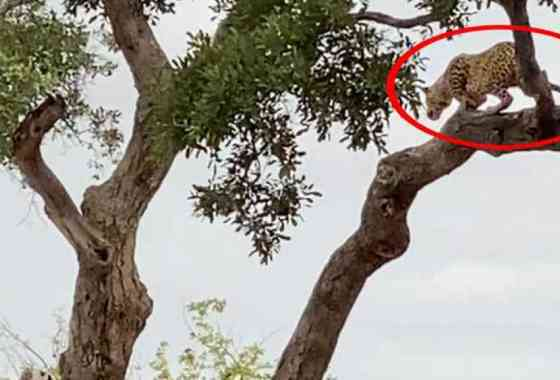 Leopardo se lanza a la caza de un ciervo saltando desde un árbol