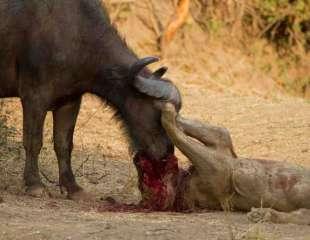 Batalla entre león y búfalo termina en un trágico desenlace