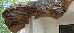 Aparecen en Estados Unidos gigantescos 'súper nidos' de avispas