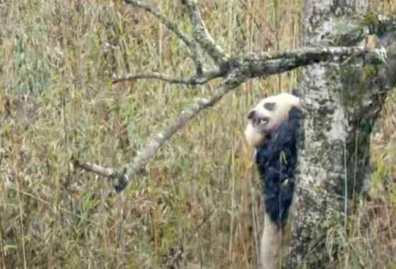Primeras imágenes de pandas gigantes apareándose en la naturaleza revelan el violento ritual de cortejo