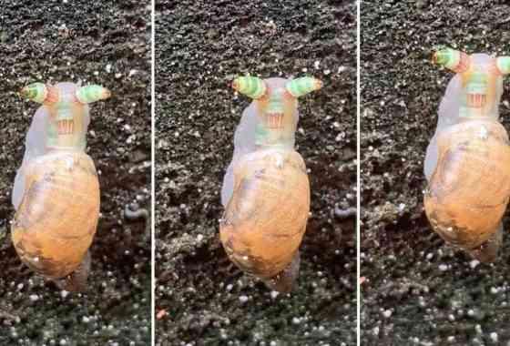 Caracol zombie emite destellos verde-anaranjados para, sin saberlo, atraer a los pájaros