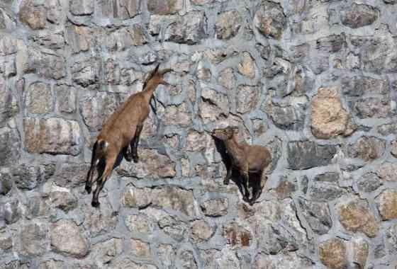 Cabras montesas de los Alpes desafían la gravedad en una pared casi vertical
