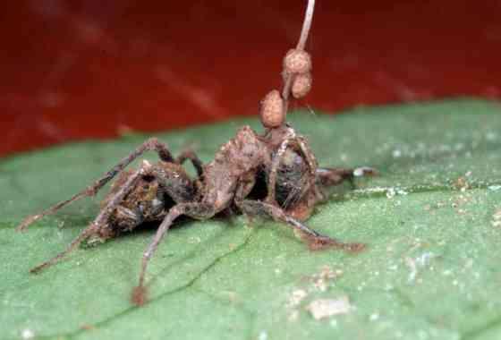 Así convierte un hongo parásito a las hormigas en 'zombies'
