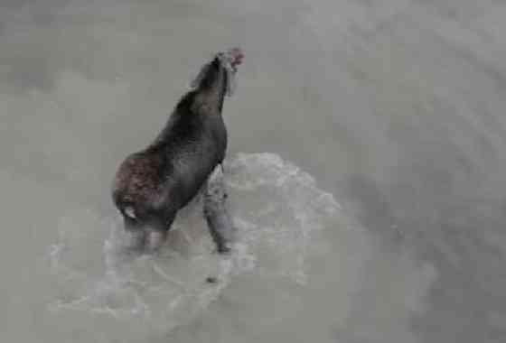 Batalla de resistencia: Lobo intenta cazar un solitario alce