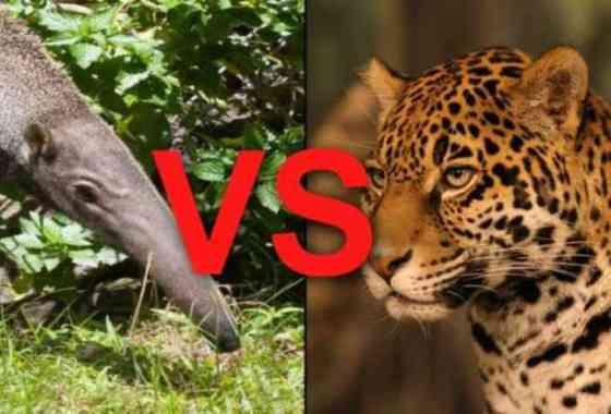 Oso hormiguero gigante contra un jaguar en una batalla que no te puedes perder