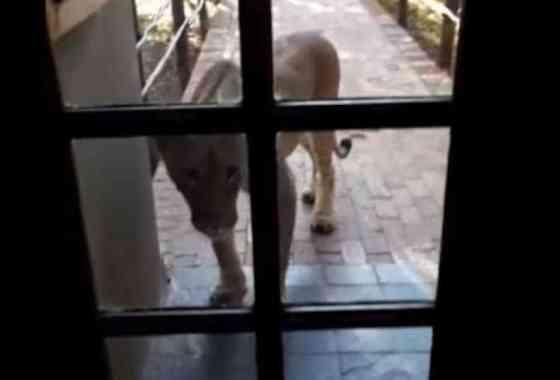 Curioso león intenta entrar a una cafetería llena de turistas