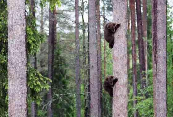 Increíbles capacidades de escalada de unos pequeños cachorros de oso