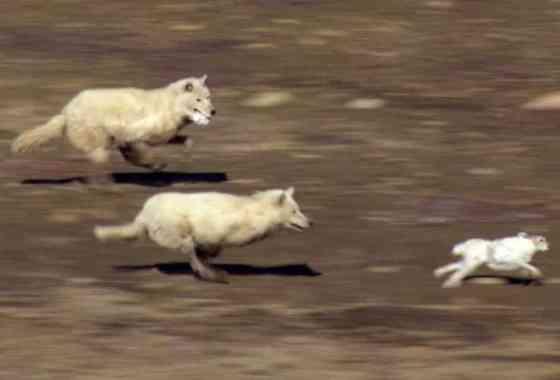 Manada de lobos caza una liebre tras una extenuante persecución