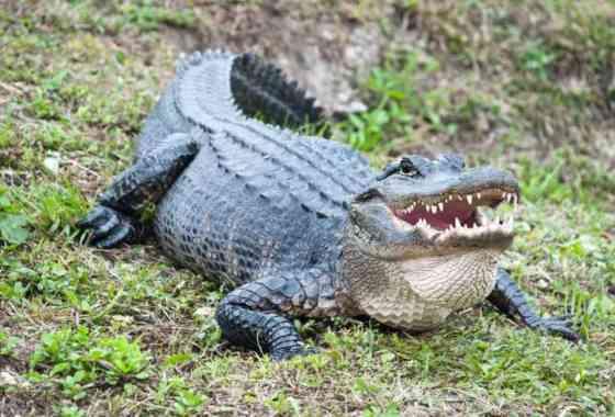En un estudio sorprendente se descubre que los caimanes regeneran las colas perdidas