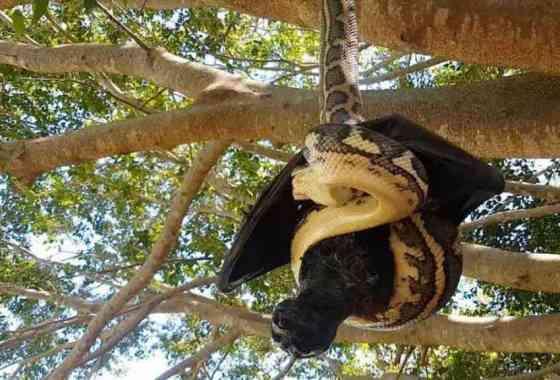 Murciélago gigante y serpiente pitón filmados en una batalla mortal