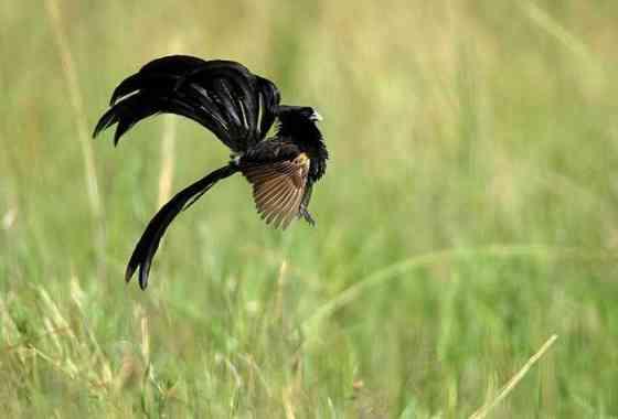 Concurso de saltos de pájaros obispo colilargos - Planeta Tierra II