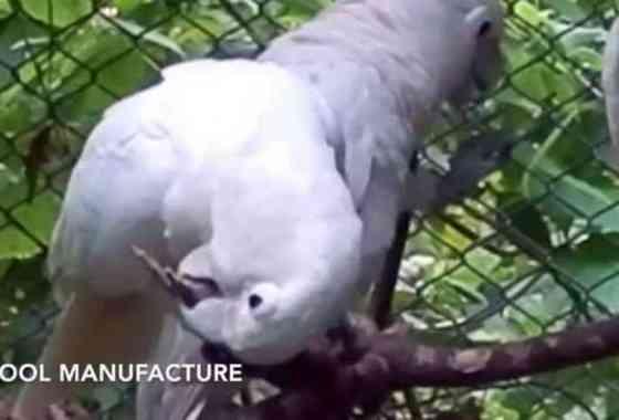 Observan en la naturaleza a hábiles cacatúas haciendo 'cubiertos'