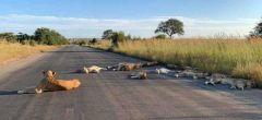 Aprovechando bien el confinamiento: leones se relajan y duermen en la carretera