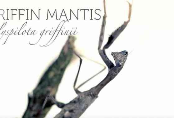 Ataque de mantis religiosa en cámara lenta