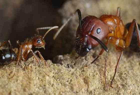Un interruptor molecular puede convertir a las hormigas guerreras en recolectoras