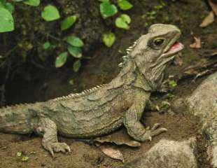 Secretos genómicos de un raro reptil