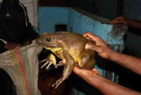 Conoce a la rana toro goliat: la rana viviente más grande de la Tierra