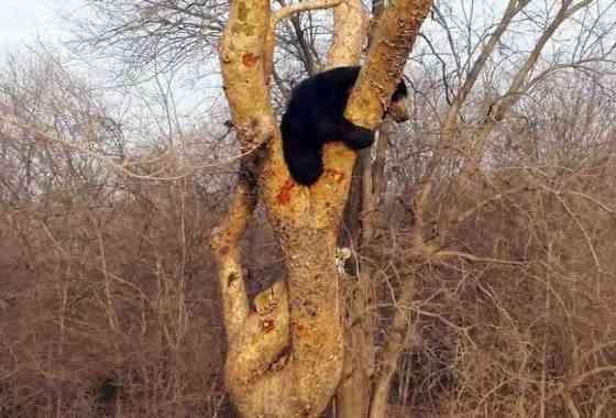 Un oso planta cara a un tigre y le hace huir