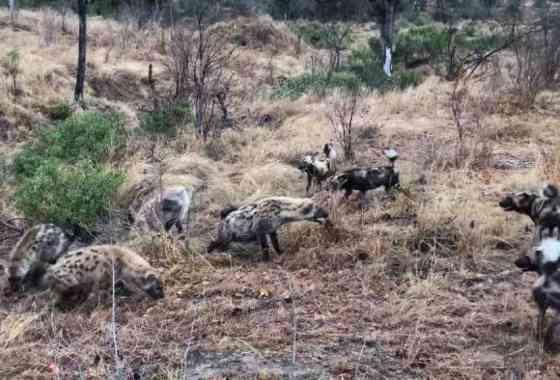 Hienas acosan a perros salvajes y roban su comida