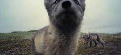 Traviesos cachorros de zorro ártico hunden sus dientes en una cámara espía