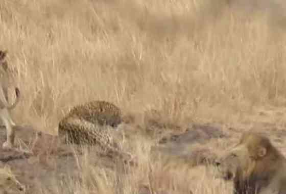 ¿Por qué esta manada de leones dejo escapar vivo a un leopardo?
