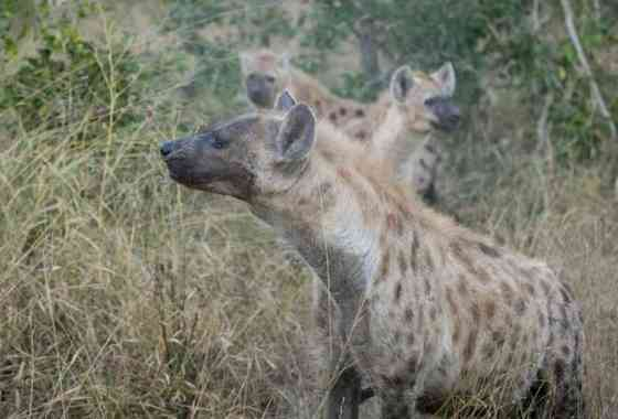 Serpiente pitón pierde su caza frente a un trío de hambrientas hienas