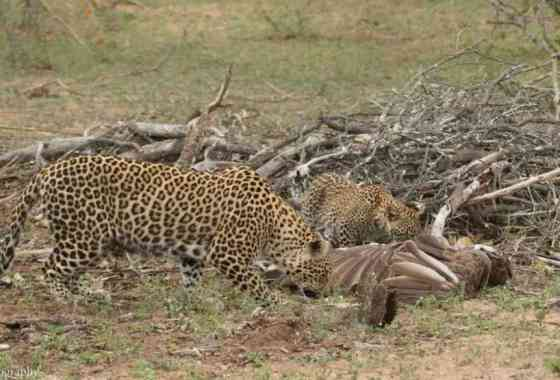 Increíble lucha entre un ágila, una mamba negra y un leopardo