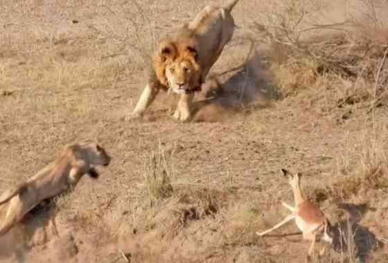 El plan de caza de los leones no siempre sale bien